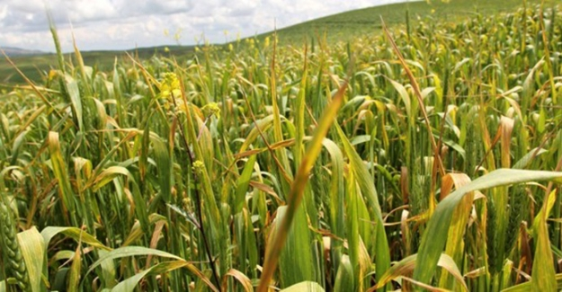 Edirne'de Buğday Tarlası'nda Virüs