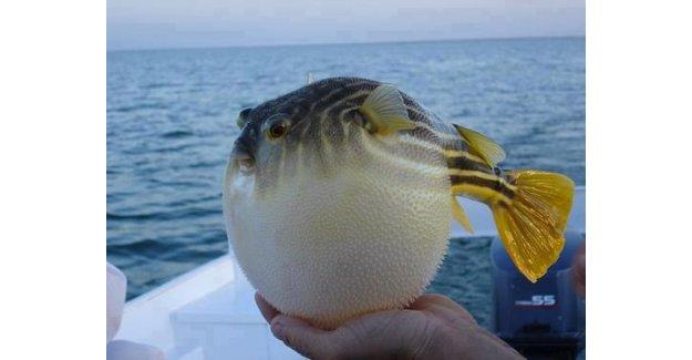 Ege'de zehirli balık