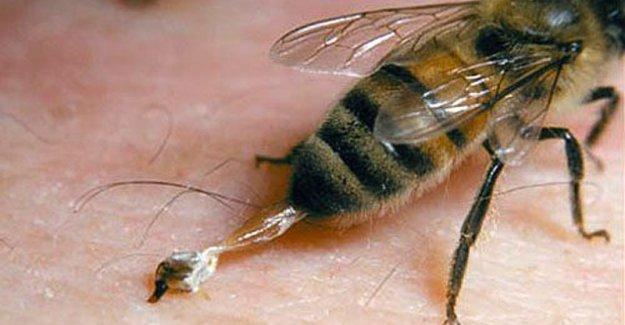 Arılar ve iğnelerinin özellikleri nelerdir? Bir arı iğnesini yalnızca bir kere mi kullanabilir?