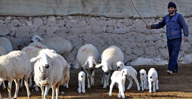 Evlenemeyen çobanlar isyan etti
