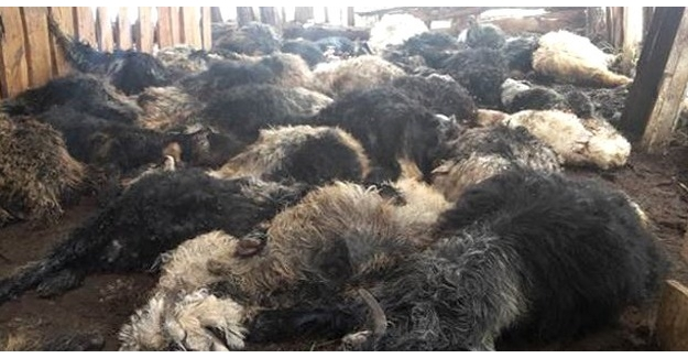 Siirt'te köpek dehşeti! 38 oğlak telef oldu