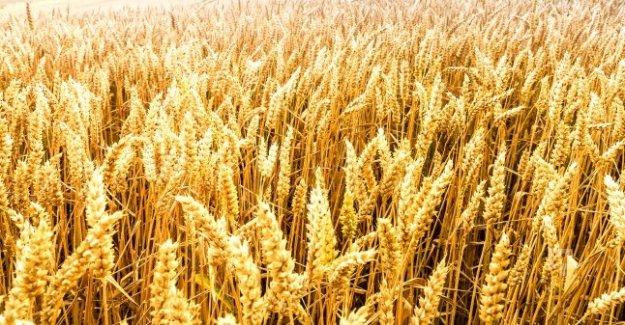 Buğdayın maliyetine göre taban fiyatı belirlendi