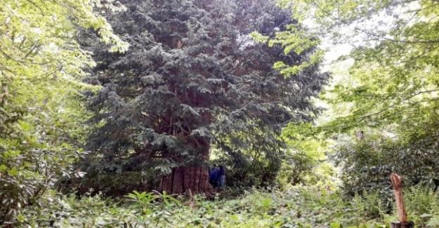 Dünyanın en büyük beşinci ağacı (4 bin 112 yıllık) Türkiye'de