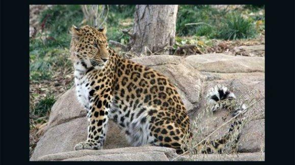 Kaçak leoparı ziyaretçiler buldu