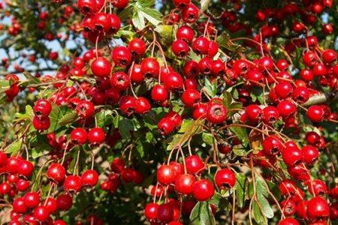 'Mutluluk Meyvesi' artık Türkiye'de de yetişecek