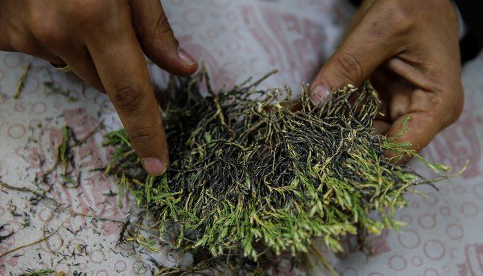 Afyonkarahisar'da endemik bitki keşfedildi!