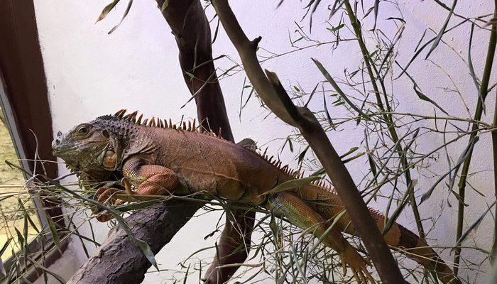 Bodrum'da sokağa terk edilen metrelik iguana yeni yuvasında