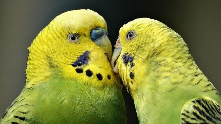Muhabbet Kuşu Aksesuarları Nelerdir? Kafeste Mutlaka Olması Gerekenler