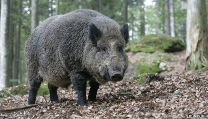 Ordu'da bir kişi, domuz saldırısına uğradı