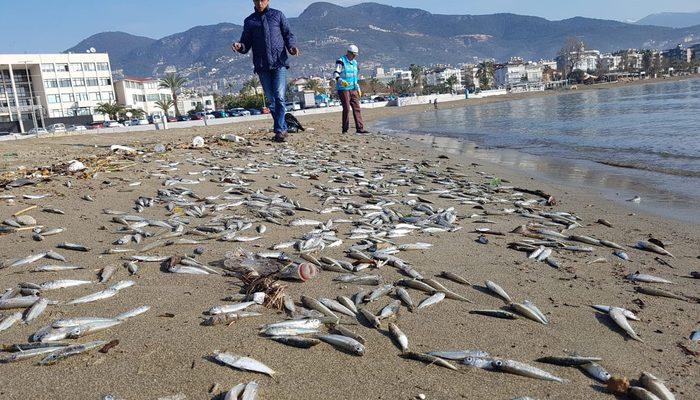 Sahile inen şoke oldu! Binlercesi kıyıya vurdu