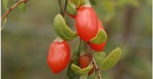 Kilo verdiren yeni bir meyve bulundu. Goji Berry nedir? Kurt Üzümü nedir?