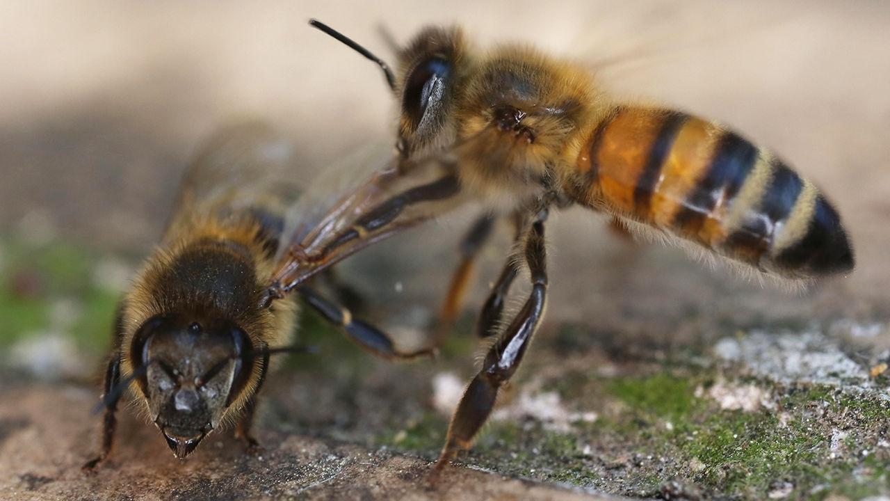 Arılara ilginç eğitim: Koronavirüs tespit ettiler Bilim insanları, arıları eğiterek Covid-19'u kokudan tespit etmeyi öğretti. Arılar, koronavirüs ile ...