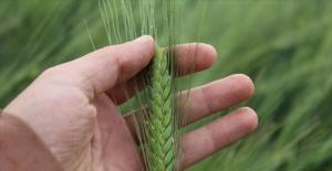 5 bin yıllık yerli tohumlarla saf bugday üretiyor