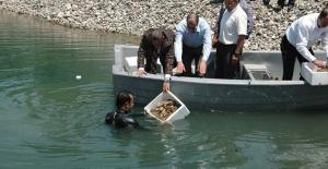 Fırat Nehri'ne uyum sağlaması için binlerce Kerevit bırakıldı