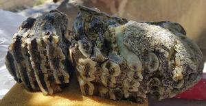 Konya Ereğli'de 2,5 milyon yıllık Mamut dişi bulundu