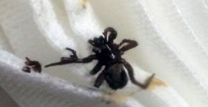 Kulağında örümcekle yaşıyormuş