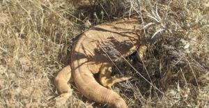 Türkiye'de yavru ejderha görüntülendi