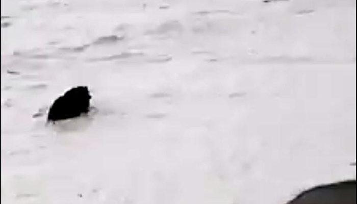 Yolunu şaşıran yaban domuzu sahilde yüzdü